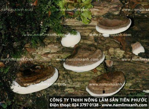 Công dụng của nấm gỗ lim rừng?