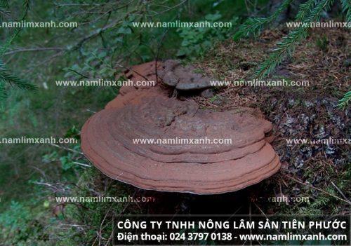 Công ty TNHH Nông Lâm Sản Tiên Phước hiện nổi tiếng trên thị trường mua bán nấm lim xanh