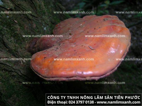Đặc điểm và phân bố nấm liên xanh rừng