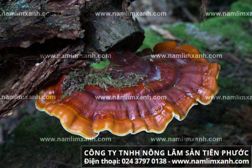Địa chỉ bán nấm lim rừng Tiên Phước tại thành phố Hồ Chí Minh