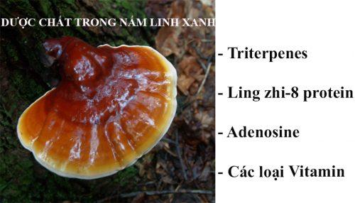 Dược chất trong nấm linh xanh rừng