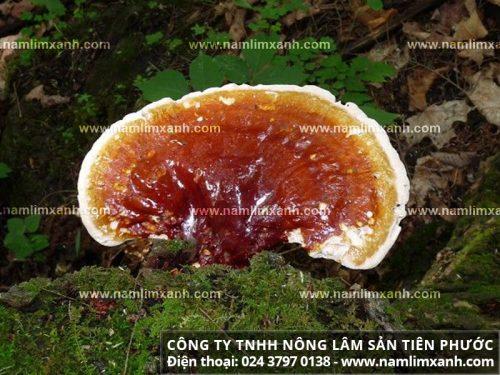 Giá của nấm lim xanh rừng tự nhiên cũng ảnh hưởng tới chất lượng của sản phẩm