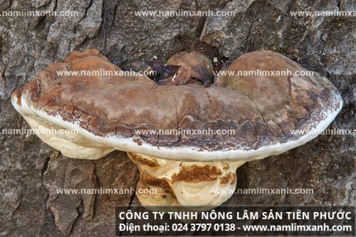 Giá nấm lim xanh rừng Quảng Nam bao nhiêu?