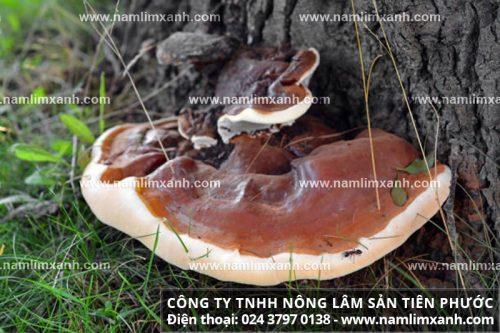 Giá nấm lim xanh rừng Quảng Nam có sự chênh lệch nhất định.
