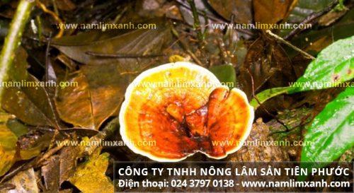 Hình ảnh cây nấm lim xanh rừng thật khác với nấm giả như thế nào?