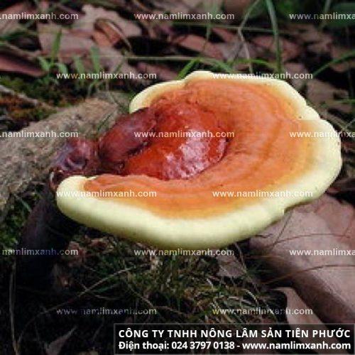 Hình ảnh của nấm lim xanh rừng