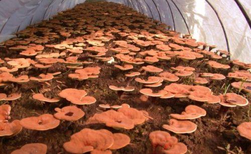 Nấm linh chi nuôi trồng thường được mạo danh là nấm lim xanh rừng.