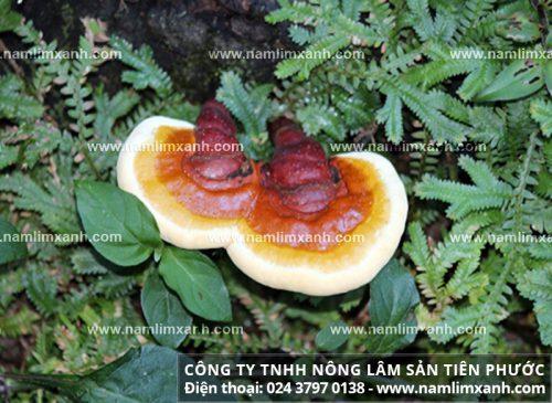 Hình ảnh của nấm lim xanh rừng tự nhiên thật.