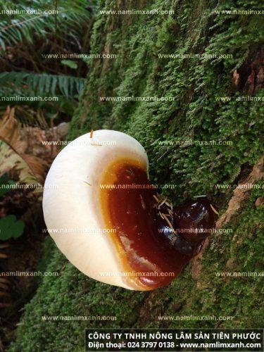 Hình ảnh nấm lim rừng