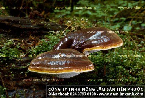 Hình ảnh nấm lim xanh tự nhiên trong rừng nguyên sinh Quảng Nam.