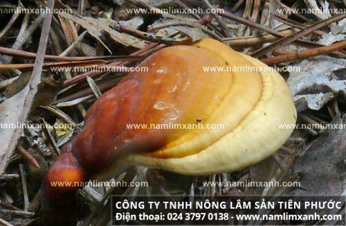 Mua nấm lim xanh rừng Quảng Nam - Xem cách phân biệt nấm lim rừng thật