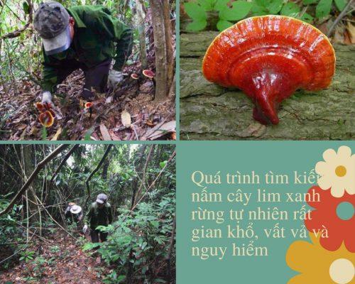 Để có được nấm cây lim xanh rừng tự nhiên, những người thợ phải trải qua nhiều khó khăn, nguy hiểm