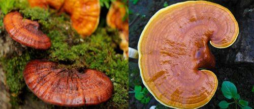 Nấm gỗ lim rừng là một thảo dược quý.