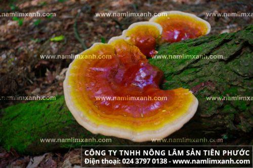 Nấm gỗ lim rừng tự nhiên