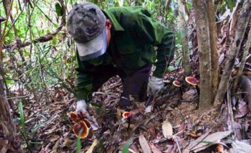 Để tìm kiếm được nấm lim xanh rừng tự nhiên, người thợ phải trải qua nhiều vất vả