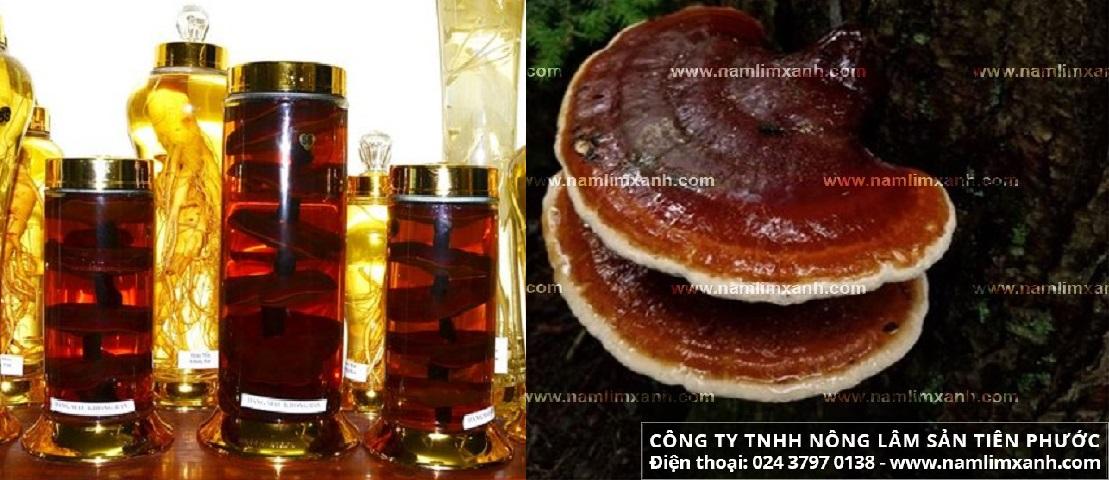 Nấm lim xanh ngâm rượu với tác dụng của nấm lim xanh ngâm rượu và cách ngâm rượu nấm lim xanh.