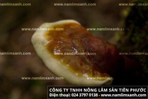Nấm lim xanh rừng chất lượng tốt của công ty TNHH Nông lâm sản Tiên Phước