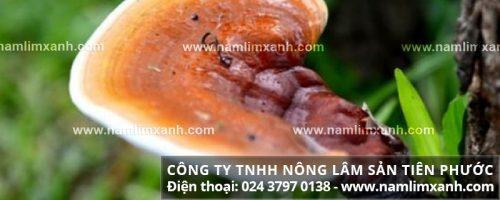 Nấm lim xanh rừng công ty Tiên Phước