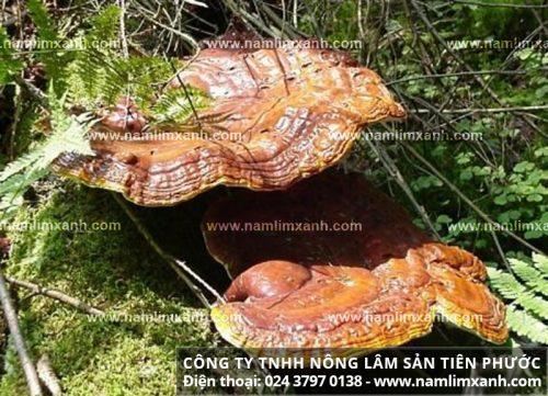 Nấm lim xanh rừng của công ty Tiên Phước