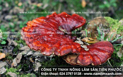 Nấm lim xanh rừng được thu hái tại các cánh rừng nguyên sinh