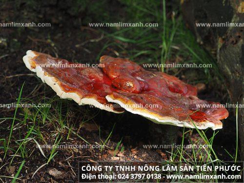 Nấm lim xanh rừng ở khu vực Trường Sơn và giáp biên với Việt - Lào.