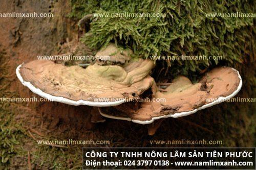 Nấm lim xanh rừng ở Quảng Nam