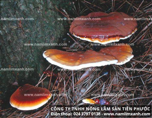 Nấm lim xanh rừng Quảng Nam là gì?