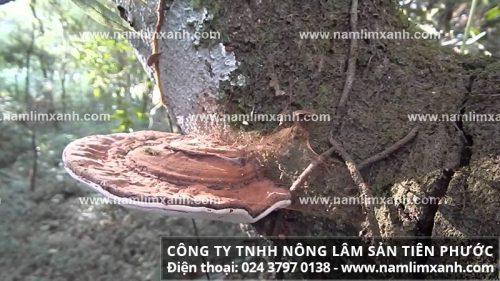 Nấm lim xanh rừng Thanh Hóa có nguồn gốc từ rừng Tây Nguyên, Trường Sơn và Nam Lào