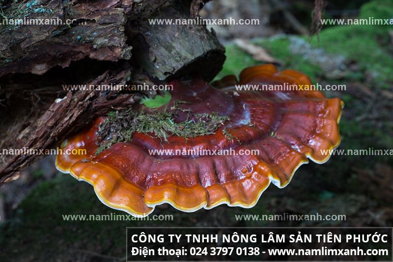 Nấm lim xanh rừng tự nhiên Việt Nam và nấm lim xanh rừng Lào.