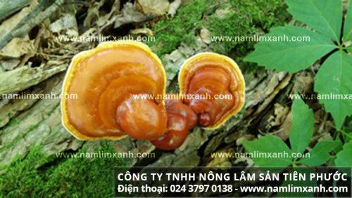 Nấm lim xanh rừng tự nhiên cuống ngắn hơn nấm linh chi Trung Quốc