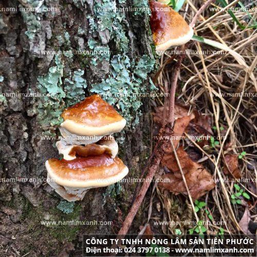 Nấm lim xanh rừng tự nhiên thân hình xù xì, chân ngắn, có hai màu là nâu vàng và nâu pha xám đen