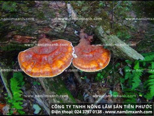 Nấm lim xanh rừng tự nhiên Tiên Phước được khuyên dùng để nâng cao hiệu quả điều trị bệnh.