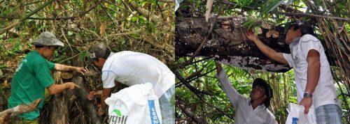Nấm linh xanh rừng Tiên Phước được thu hái từ rừng nguyên sinh.