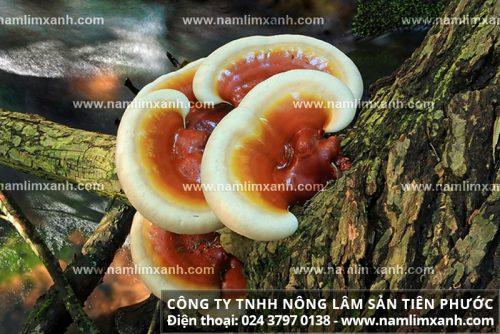 Nấm linh xanh rừng của công ty Nông lâm sản Tiên Phước