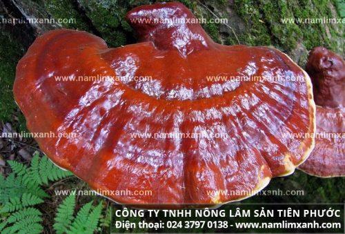 Nguồn gốc của nấm cây lim xanh rừng tự nhiên