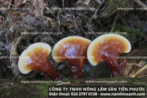 Nguồn gốc nấm lim xanh rừng tự nhiên