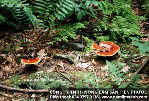 Nhận biết nấm lim rừng Quảng Nam thật