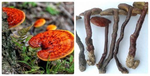 Nấm lim xanh thật (bên phải) có mũ dày, chân ngắn. Nấm lim giả (bên trái) có mũ mỏng, chân dài