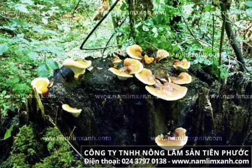 Quá trình sinh trưởng và phát triển của nấm lim xanh rừng tự nhiên là ở trên cây lim