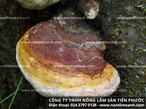 Sắc nước nấm lim xanh Lào
