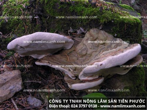 Sơ chế nấm lim xanh Lào