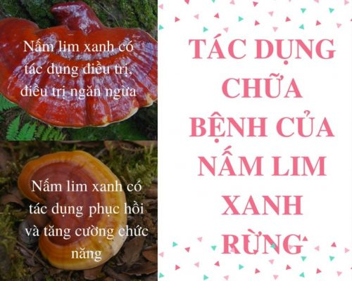 Nấm lim xanh rừng Quảng Nam có nhiều tác dụng chữa bệnh cho con người.