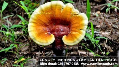 Hình ảnh vềphân biệt nấm lim xanh rừng tự nhiên