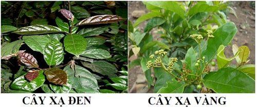 Hình ảnh cây xạ đen và cây xạ vàng