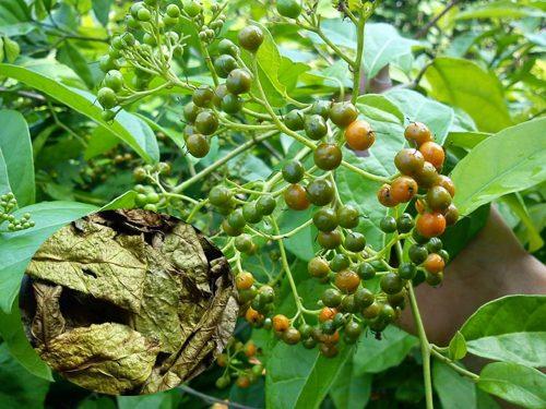 Dược chất chữa bệnh có nhiều trong lá cây xạ đen hơn là thân cây