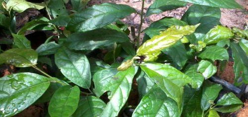 Uống lá cây xạ đen có tác dụng gì? Có 10 tác dụng của lá cây xạ đen