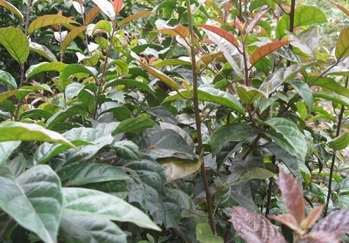 Cây xạ đen được xem là cây thảo dược chữa ung thư tốt.