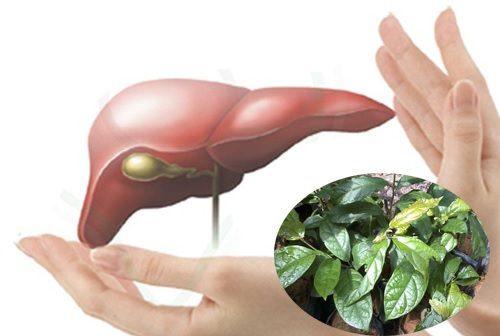 Cây xạ đen và tác dụng chữa bệnh gan