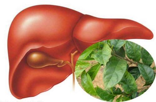 Công dụng của cây xạ đen điều trị các bệnh về gan