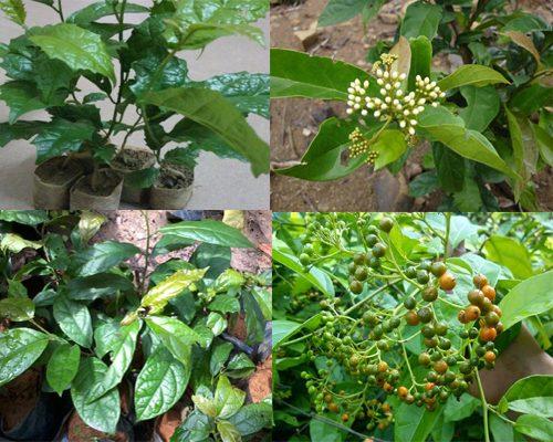 Hình ảnh của cây xạ đen trong tự nhiên nhận biết qua đặc điểm lá, hoa, quả cây